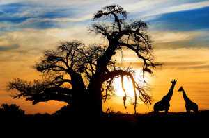 Baobab & giraffes, Mapungubwe National Park
