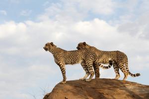 Cheetahs, Kruger Nat Park