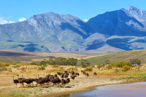 ostriches on mountain farm. Shot near Bonnievale, Western Cape, South Africa