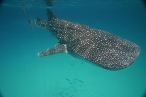 Cancun Whale Shark Tours Shark